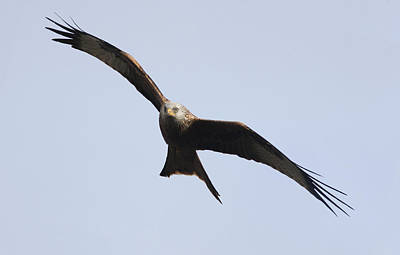 Gatehouse Photograph - A Red Kite Milvus Milvus Gatehouse by John Short