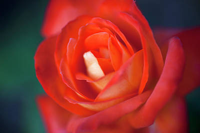 Single Object Photograph - A Red Rose, Extreme Close Up, Selective Focus by Tobias Titz