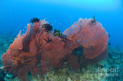 A Red Sea Fan With Crinoid Feather Art Print