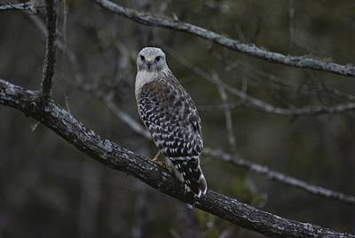 A Red-shouldered Hawk Sits On A Tree Art Print
