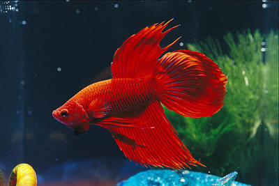 Betta Fish Photograph - A Red Siamese Fighting Fish In An by Jason Edwards