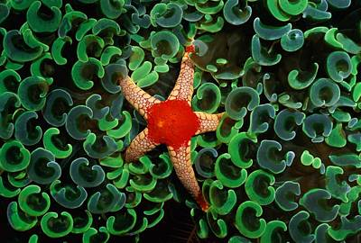 Euphyllia Photograph - A Red-tipped Starfish Walks by Wolcott Henry