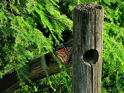 Cabin Wall Photograph - A Resting Butterfly by David Dehner