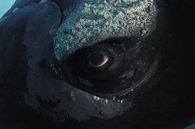 A Right Whales Eye Covered With Tiny Art Print by Brian J. Skerry