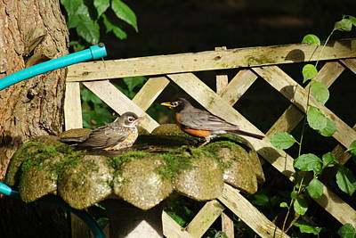 Photograph - A Robin Couple At The Shower by Margie Avellino