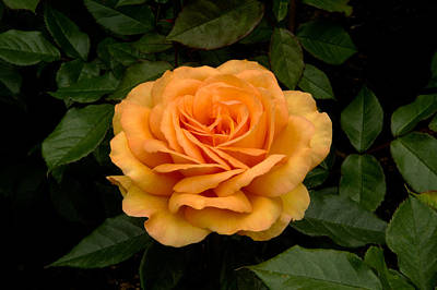 A Rose Is A Rose Original by Donna Caplinger