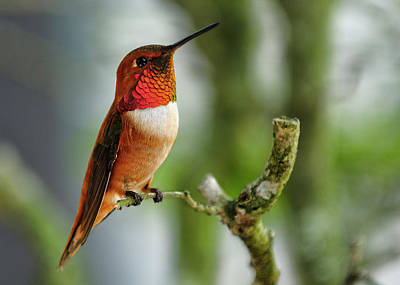 Antlers - A Rufous Hummingbird perched by Bill Dodsworth