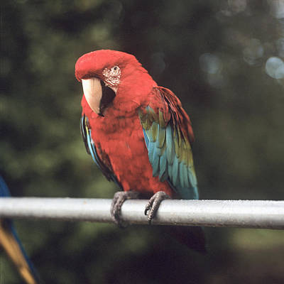 Close Focus Nature Scene Photograph - A Scarlet Macaw Perched On A Railing by Brian Caissie