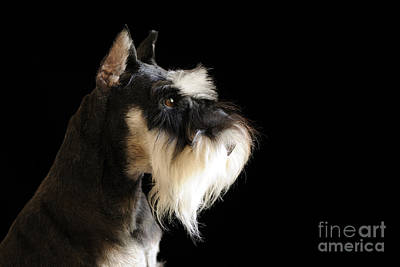 Photograph - A Schnauzer by Nancy Greenland
