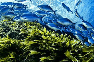 A School Of Blue Maomao Swim Art Print by Brian J. Skerry