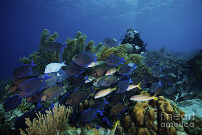 A School Of Blue Tang Feed On The Reefs Art Print by Terry Moore