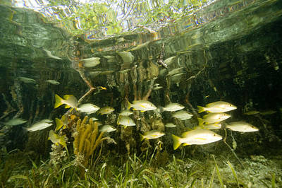 A School Of Snappers Shelters Among Art Print by Tim Laman