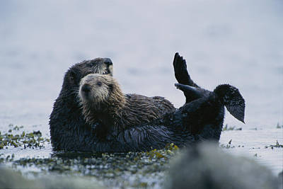 A Sea Otter Cradling Her Pup In A Kelp Art Print by Joel Sartore