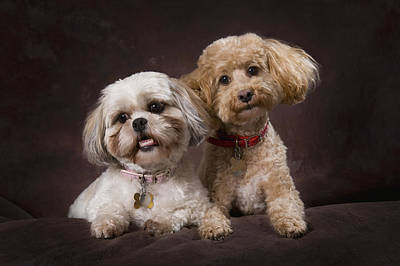 A Shihtzu And A Poodle On A Brown Art Print by Corey Hochachka