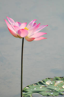 Photograph - A Simple Lotus by Chua  ChinLeng