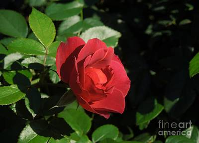 A Single Burgundy Rose Art Print by Chad and Stacey Hall