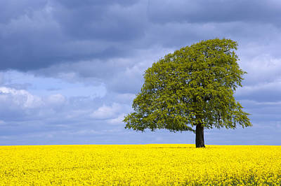Photograph - A Single Tree In A Field Of Yellow Oil Seed Rape by Chris Rose