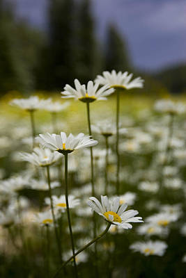 A Small Group Of Daisies Stands Art Print by Ralph Lee Hopkins
