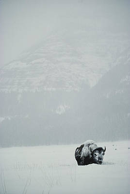 A Snow-covered American Bison Stands Art Print by Michael S. Quinton