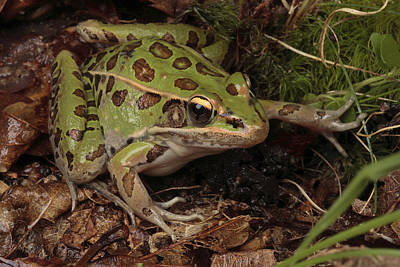 A Southern Leopard Frog Pauses In Leaf Art Print by George Grall
