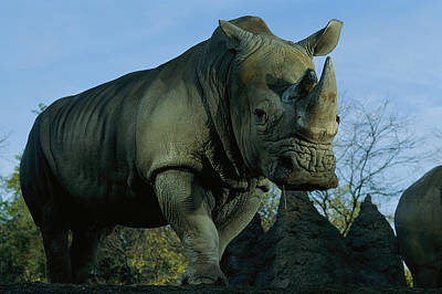 A Southern White Rhinocerus Art Print by Michael Nichols