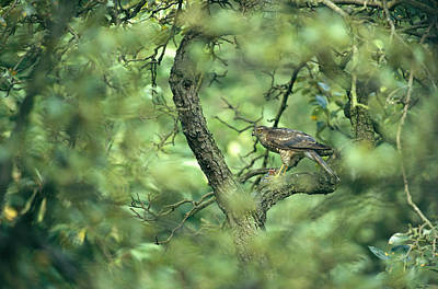 Sparrowhawk Photograph - A Sparrowhawk Perches In A Tree by Klaus Nigge