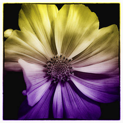 Daisies Digital Art - A Special Daisy II by David Patterson