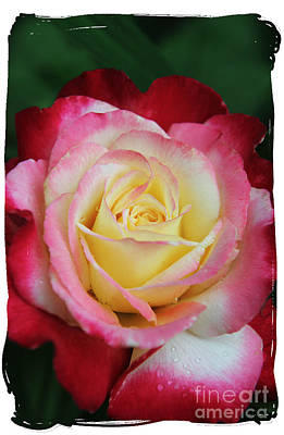 Photograph - A Special Rose by Lori Mellen-Pagliaro