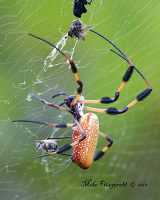 Photograph - A Spider's Catch by Mike Fitzgerald