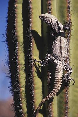 Thorn Tail Photograph - A Spiny-tailed Iguana Climbing A Cardon by Ralph Lee Hopkins
