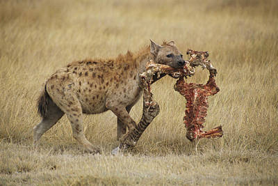 A Spotted Hyena Carries A Piece Print by Tim Laman