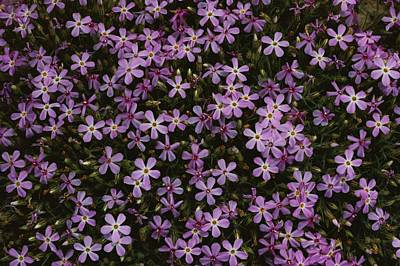 A Spray Of Purple Phlox Flowers Fills Art Print by James P. Blair