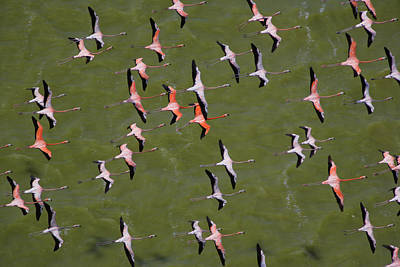 Flamingos Photograph - A Squadron Of Flamingos In Close by Bobby Haas
