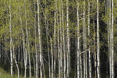 A Stand Of Aspen Trees At Wolf Creek Art Print by Rich Reid