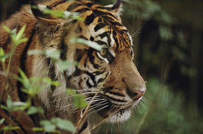 Audubon Zoo Photograph - A Sumatran Tiger In The Asian Domain by Michael Nichols