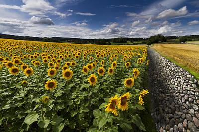 A Sunny Sunflower Day Art Print by Debra and Dave Vanderlaan
