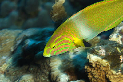 Kosrae Island Photograph - A Sunset Wrasse Swimming by Tim Laman