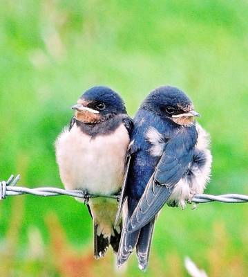 A Swallows Tale Art Print