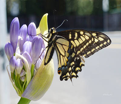 Photograph - A Swallowtail Butterfly by Xueling Zou