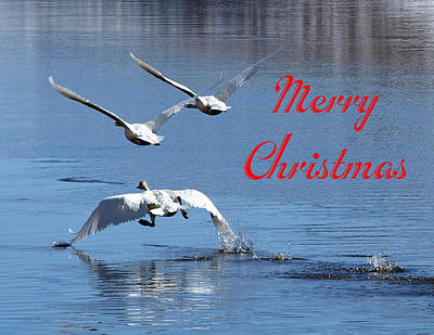 Photograph - A Swan Christmas by DeeLon Merritt