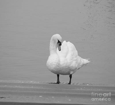 Photograph - A Swan In Simply White by Margie Avellino