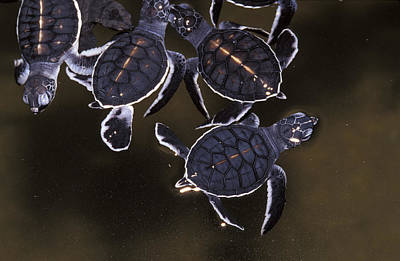 Frenzy Photograph - A Swarm Of Endangered Green Sea Turtle by Jason Edwards