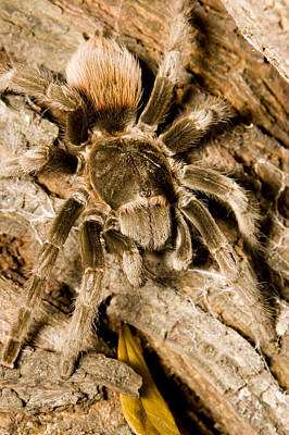 A Tarantula Living In Mangrove Forest Art Print by Tim Laman