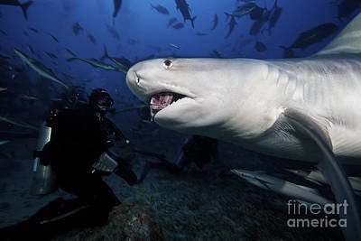A Tiger Shark Consumes A Large Tuna Print by Terry Moore