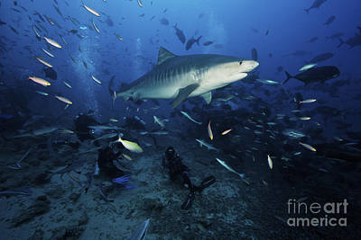 Videographer Photograph - A Tiger Shark Swims Over A Group by Terry Moore