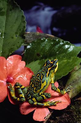 Varius Photograph - A Tiny Adult Painted Toad Atelopus by George Grall