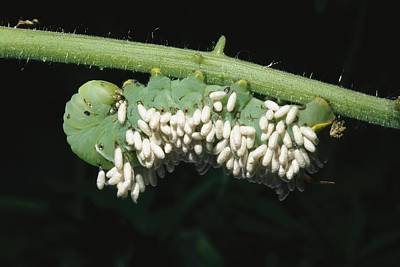 A Tobacco Hornworm Caterpillar Art Print by Brian Gordon Green