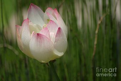Photograph - A Touch Of Blush by Living Color Photography Lorraine Lynch
