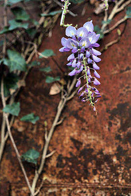 Photograph - A Touch Of Purple by JC Findley