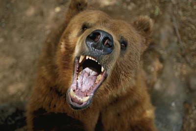 A Trained Kodiak Bear With Its Mouth Art Print by Joel Sartore